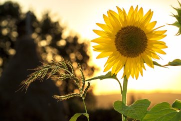 agriculture-environment-flower-33044